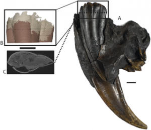 Saber tooth with partially erupted adult canine.