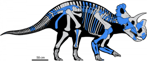 Skeletal reconstruction of Wendiceratops. Highlighted blue areas are bones that were excavated in the Oldman Formation. Grey bones have yet to be discovered. Image by Evans et. al 2015.