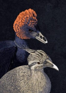 (Artist's interpretation of dinosaur Anchiornis (back) and modern bird Tinamou (front) to show difference in bones at tips of their jaws. (John Conway/Yale University)