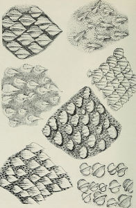 Shark scales; also known as denticles. Very similar to teeth on a microscopic level. Image by The American Museum.