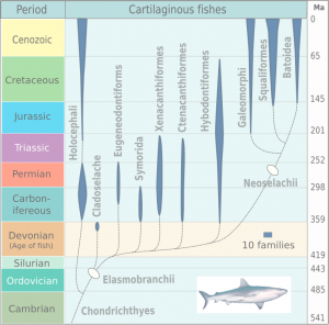 Shark evolutionary tree. Sharks first began to diverge into their own type of animal during the Cambrian and were known as the Chondrichthyes. Image by Michael Benton 2005. Click image for larger view.
