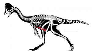 Highlighted in red are the gastralia ribs. Image by Lamanna MC et al., 2014.