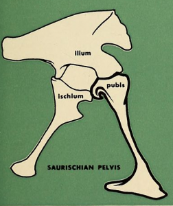 The hip structure of a saurischian pelvis. Image by Colbert et al., 1945