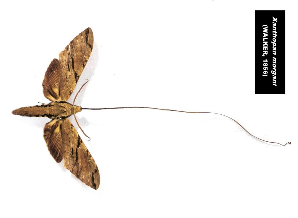A sphinx moth, Xanthopan morgani, with a very long proboscis, as predicted from an orchid. By Esculapio, via Wikimedia Commons.